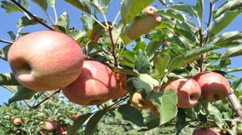 Volume de maçã colhido no Sul do Brasil cai quase 20% na safra 2019/2020