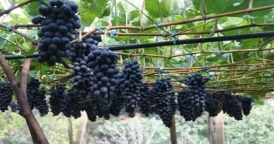 Oferta de uva pode seguir baixa em julho, segundo Cepea