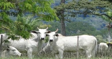 Live aborda pecuária na Amazônia; região tem quase 1/3 do gado brasileiro