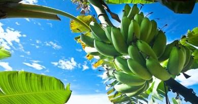 Produção de banana em Goiás deve alcançar 202,9 mil toneladas em 2021
