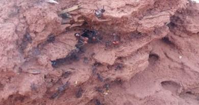 Saiba como controlar formigas cortadeiras na agricultura