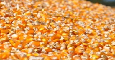 O desafio de substituir o milho e a soja na alimentação de suínos e aves