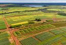 Embrapa: Consórcio com o milho aumenta a produção de cana no Cerrado