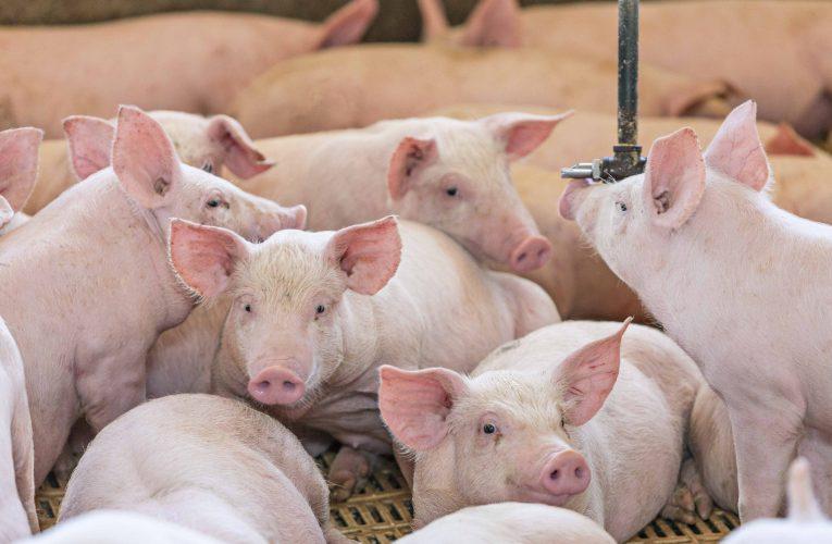 Aumento do consumo de carne suína motiva produtores a i