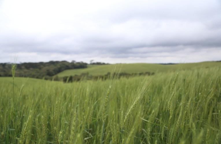 Trigo: nutrição adequada das plantas é essencial para mitigar estresses climáticos