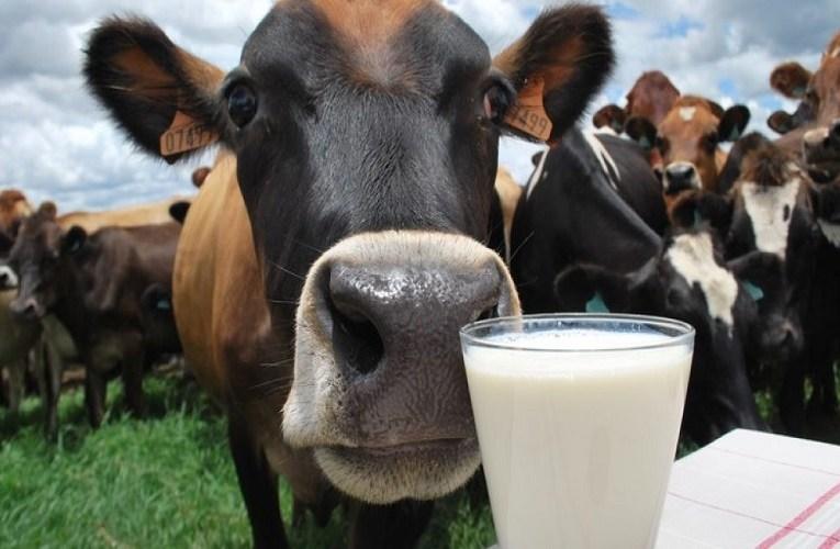 Saiba como melhorar a qualidade do leite