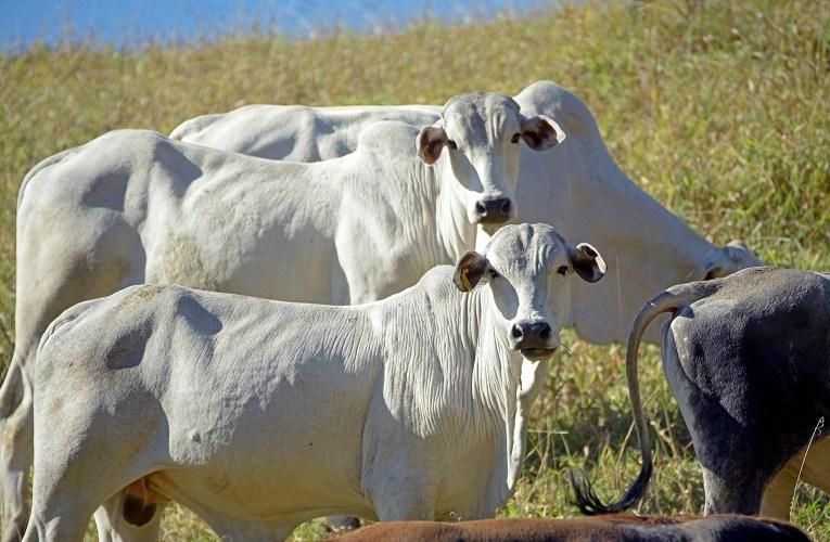Qual a melhor época do ano para vermifugar os bovinos?