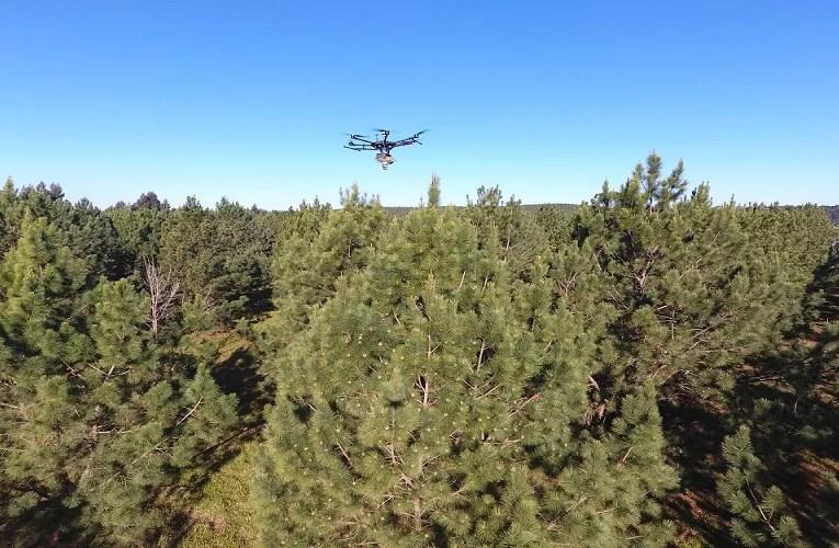 Polinização de árvores de pinus com drones