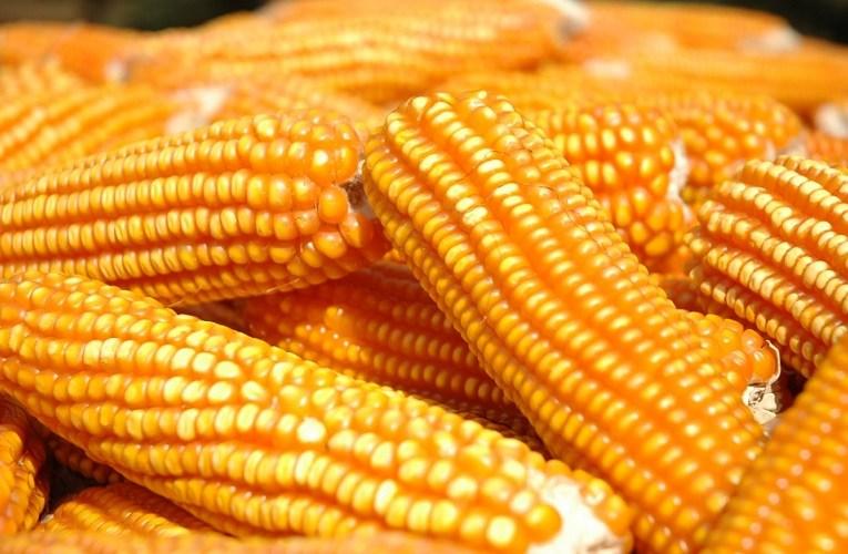 Economia mundial faz preços do milho caírem em Chicago