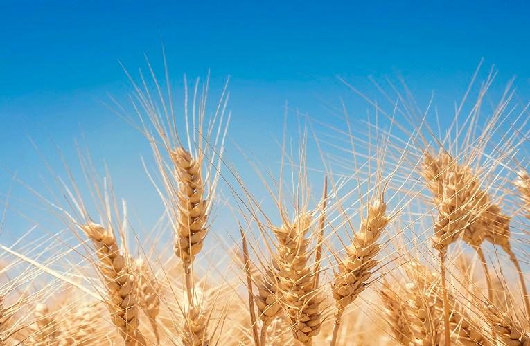Trigo irrigado no Cerrado bate o sucessivo recorde