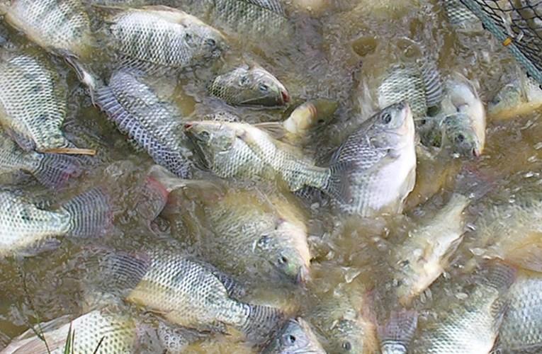 Aquacultura: método de gestão que alia nutrição e manejo eleva resultados na produção de pescados