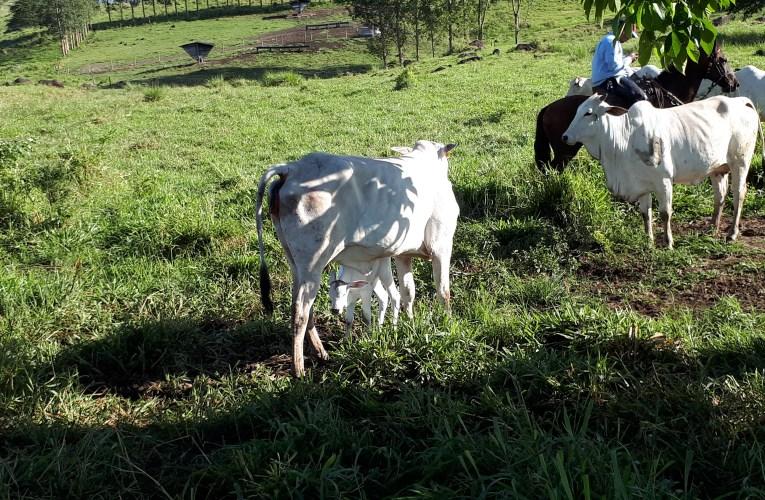 Manejo de nascimento em propriedades de cria: quais os primeiros cuidados com a vaca e o bezerro?
