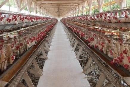 Salmonella em aves: cuidados para escolher a melhor vacina inativada