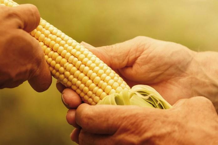 Podsumowanie sezonu uprawy kukurydzy na ziarno w roku.