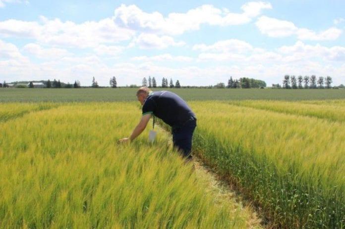 wyniki plonowania jęczmienia jarego browarnego, wyniki plonowania jęczmienia jarego, rolnik, COBORU, jęczmień, odmiany ziemniaków,