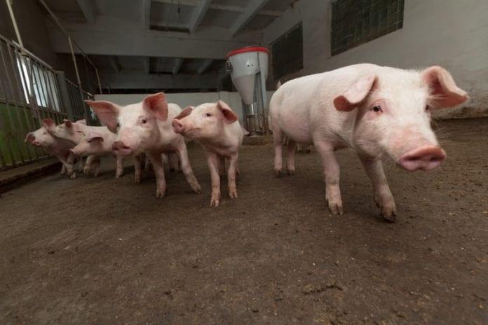 pogłowie świń, Jakub Olipra, Credit Agricole, trzoda chlewna, tuczniki, lochy prośne