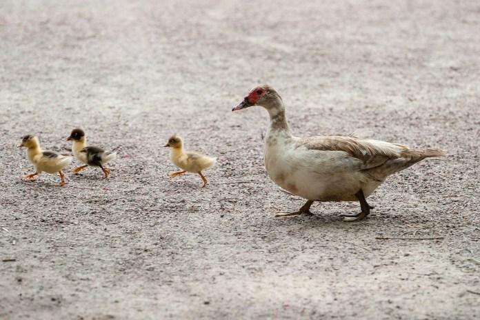 Ptasia grypa dziesiątkuje stada kaczek