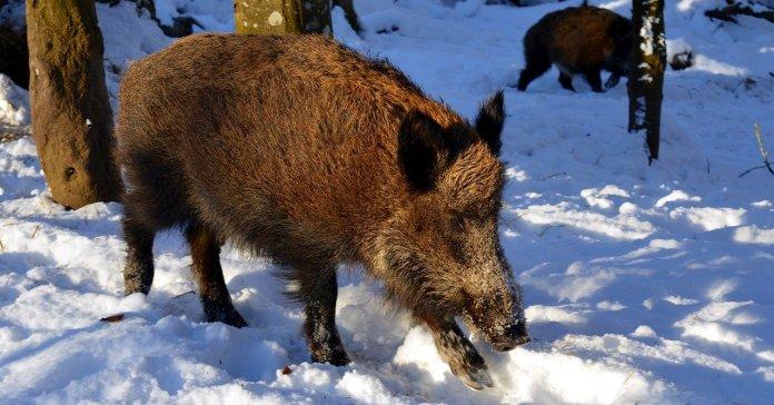 ASF, GDDKiA, świnie, dziki