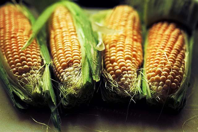 średniopóźne odmiany kukurydzy, COBORU, odmiany kukurydzy, kukurydza