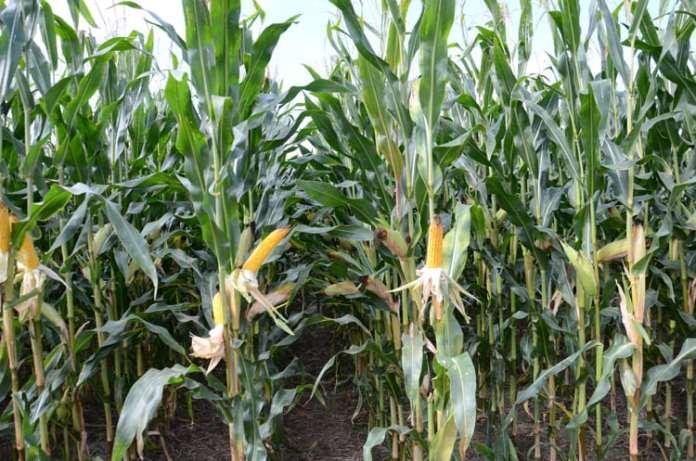 kukurydza, PKO BP, AgroNawigator, import kukurydzy, Ukraina,  import kukurydzy z Ukrainy