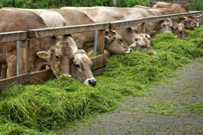 Lucerna - źródło białka w żywieniu bydła