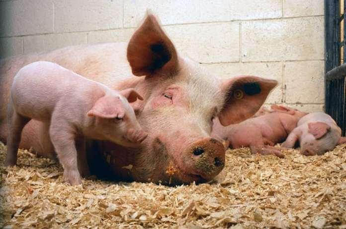 powrót lokalnych ras świń, ceny świń, świnie, trzoda chlewna, UE, Cordis
