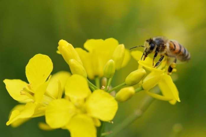 zapylenie kwiatów, Poprawa efektywności kwitnienia