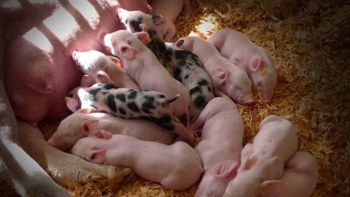 Rolnicy żądają wyrównanie dochodów dla producentów świń ze stref Asf