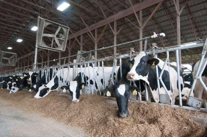 lnik, rolnictwo, nielegalny ubój chorych krów, wołowina,