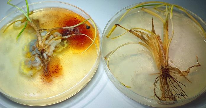 Fusarium, Innvigo, pszenica, zboża, choroby fuzaryjne,