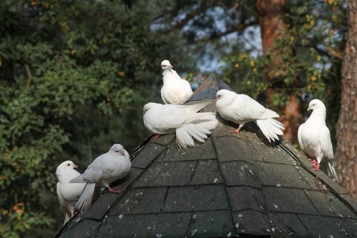 Gołębie w gospodarstwach rolnych