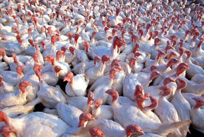 Ptasia grypa wciąż redukuje stada drobiu