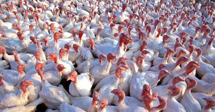 ptasia grypa, indyki, grypa ptaków