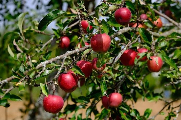 Prognoza dla zbiorów owoców na 2021 rok