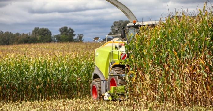 kukurydza, plonowanie kukurydzy,