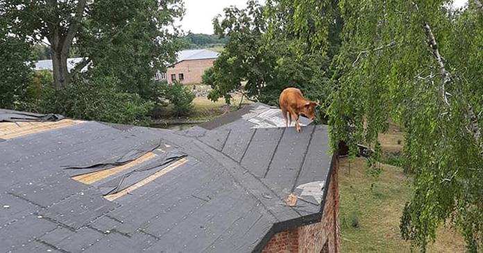 krowa, krowa na dachu, Sochocin