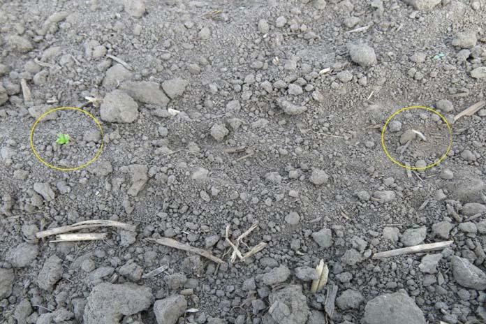 Przesiewy plantacji buraka cukrowego, burak cukrowy, szarek komośnik, KSC, Krajowa Spółka Cukrowa