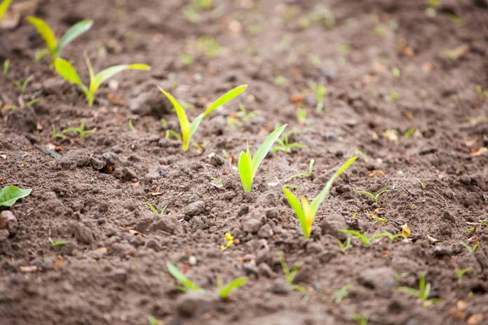 kukurydza, chwasty, chwasty w kukurydzy, herbicydy, Innvigo, Limagrain, Rincon , Henik