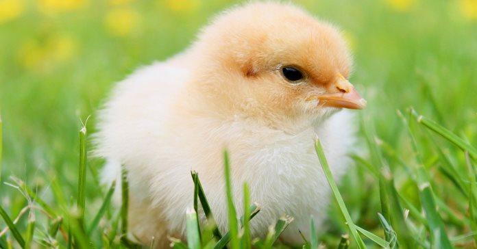 Krajowa Izba Producentów Drobiu i Pasz, kurczaki, drób, eksport drobiu
