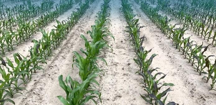 Efektywne odchwaszczanie kukurydzy