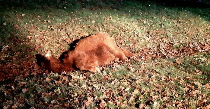 krowa, samochód, wypadek na wsi, OSP w Cybince