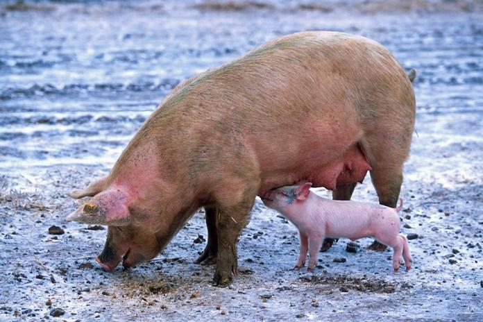 Wzrost pogłowia we wszystkich grupach świń