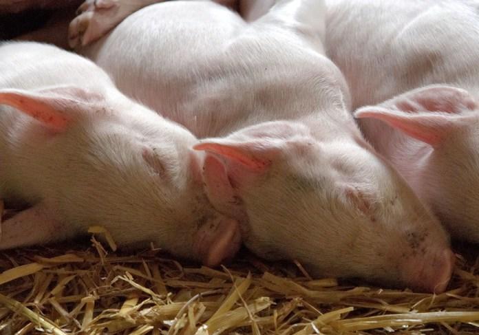 Dramat rolników utrzymujących świnie trwa