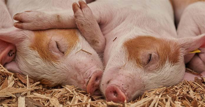 ASF, walka z ASF, świnie, trzoda chlewna