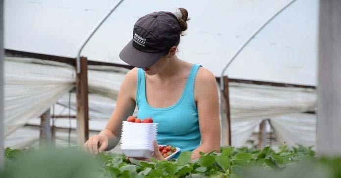 rolnictwo, zatrudnienie w rolnictwie, umowa o pomocy przy zbiorach, nielegalne zatrudnienie w rolnictwie