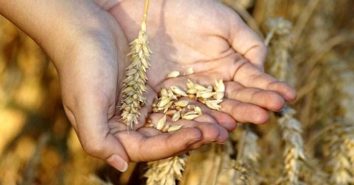 nasiona, dopłaty do materiału siewnego, Stawki dopłat do materiału siewnego