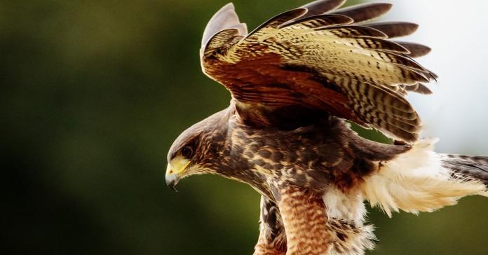 grypy ptaków, grypa ptaków, Krajowa Izba Producentów Drobiu i Pasz, HPAI, ptasia grypa