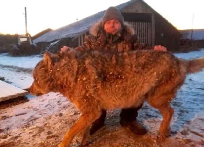 Rolnik w obronie gospodarstwa udusił wilka gołymi rękami