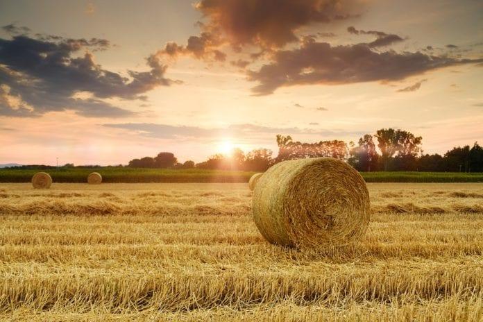 Słoma zdrożeje przez suszę, susza, słoma, bydło, producenci rolni, szacowanie strat suszowych w gospodarstwach utrzym, straty suszowe