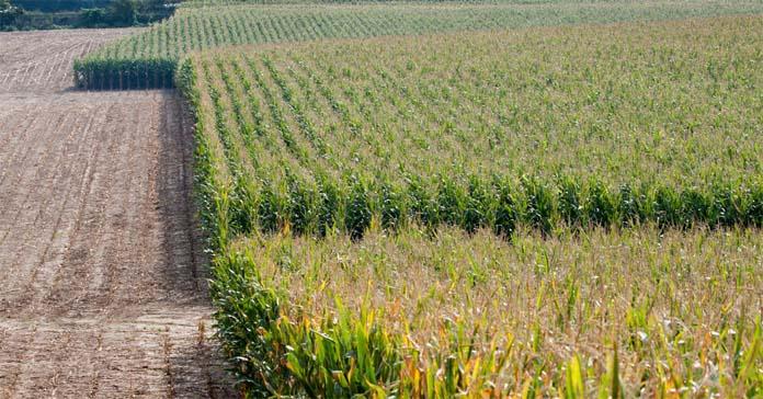susza, kukurydza, Heat and Drought
